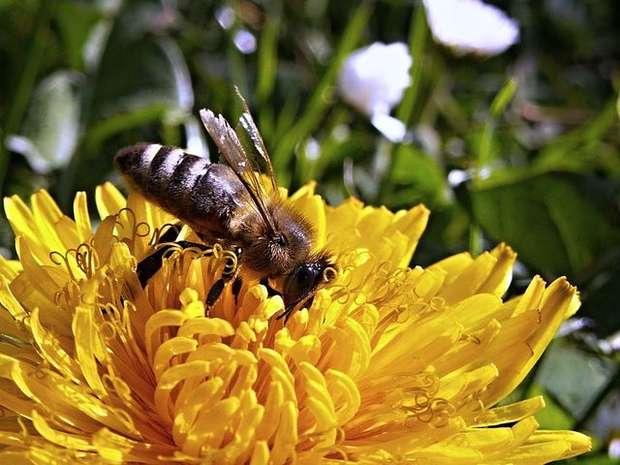 bee dandelion macro spring nature garden flower