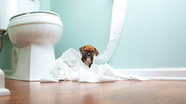 boxer-puppy-in-toilet-paper