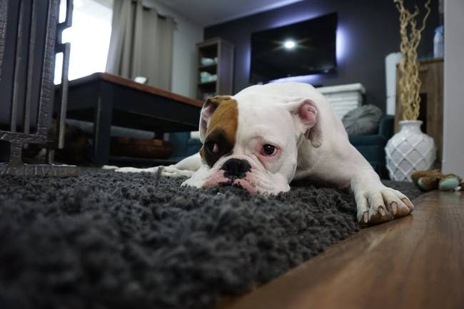 Similar Photos      animal, dog, pet     animal, dog, pet     animal, dog, pet     animal, dog, pet     blue, animal, dog     animal, dog, pet   White and Tan English Bulldog Lying on Black Rug