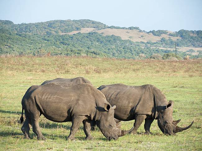 grazing-black-rhinos
