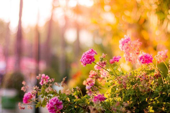 pink-flowers-garden